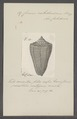 Conus caledonicus - - Print - Iconographia Zoologica - Special Collections University of Amsterdam - UBAINV0274 085 10 0011.tif