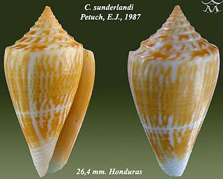 <i>Conus sunderlandi</i> species of mollusc