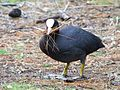 Coot with nest material (13908615258).jpg