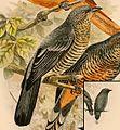 Coracina morio talautensis 1898.jpg