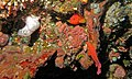 Coral Hinds (Cephalopholis miniata) (6059137544).jpg