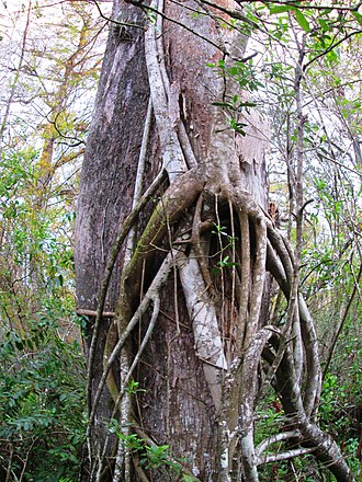 Strangler fig - Image: Corkscrew bald cypress and strangler fig