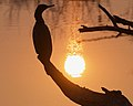 Cormorant at the sun.jpg