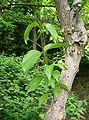 Cornus officinalis7.jpg