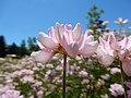 Coronilla varia - crownvetch - Flickr - Matt Lavin (3).jpg