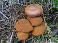Cortinarius cinnamomeus a3 (3).jpg