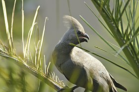 Corythaixoides concolor -South Africa-8.jpg