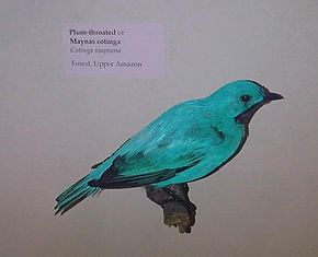 Description de l'image Cotinga maynana 1.jpg.