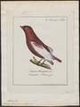 Cotinga pompadora - 1700-1880 - Print - Iconographia Zoologica - Special Collections University of Amsterdam - UBA01 IZ16600091.tif
