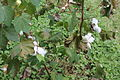Cotton plants at Kent Plantation House, Alexandria, LA IMG 4229.JPG
