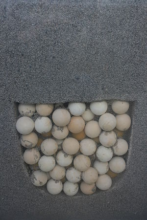 Clutch (eggs) - A sea turtle clutch