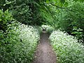 Cow Parsley takes over the Edge of the Canal Towpath in May - geograph.org.uk - 1310476.jpg