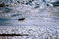 Coyote015 (26841417622).jpg