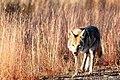 Coyote (5500611300).jpg