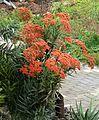 Crassula perfoliata var coccinea, Universiteit van Pretoria.jpg