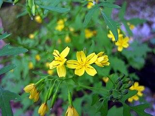 <i>Crepidiastrum</i> genus of plants