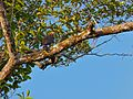 Crested Serpent Eagle (Spilornis cheela) (8067807570).jpg