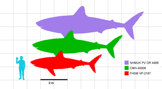 Illustration of silhouettes of a human and three C. mantelli sharks that are in scale