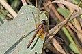 Crimson marsh glider (Trithemis aurora) female Bardiya.jpg