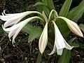Crinum latifolium.jpg