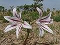 Crinum ornatum Fleur.jpg