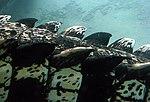 Crocodile marin Thoiry 19802.jpg