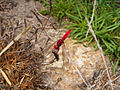 Crocothemis erythraea CBMen 5.jpg