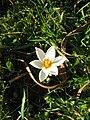 Crocus sieberi Bowles White2.jpg