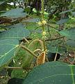 Croton bogotanus 1.jpg
