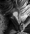 Curro das Canizadas. A Pobra do Caramiñal 3.jpg