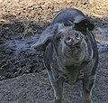 Dänisches Sortbroget Schwein (3).jpg