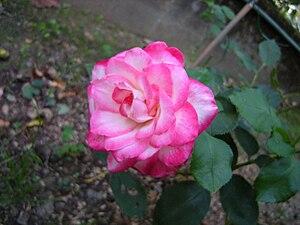 DSCN0582 rose variete juilé de prince de monaco.jpg