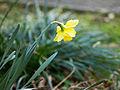 Daffodil (6970934157).jpg