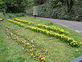 Daffodils and crocuses along Bonchurch Village Road.JPG