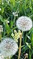 Dandelion seedling.jpg