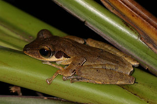 <i>Polypedates macrotis</i> species of amphibian