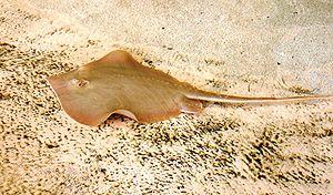 Euryhaline - Image: Dasyatis sabina florida