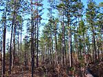 Pine forest in De Soto.