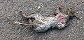 Dead rat (Rattus norvegicus) in Falköping 0954.jpg