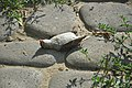Dead sparrow in Nizhny Novgorod 02.jpg