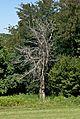 Dead tree dordogne.jpg