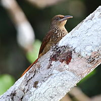Dendrexetastes rufigula - Cinnamon-throated Woodcreeper.JPG