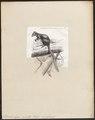 Dendrolagus inustus - 1872 - Print - Iconographia Zoologica - Special Collections University of Amsterdam - UBA01 IZ20300041.tif