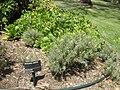 Descurainia millefolia Gardenology.org.jpg