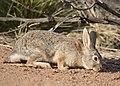 Desert Cottontail DSC6069vv.jpg