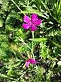Dianthus deltoides sl19.jpg