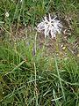 Dianthus superbus RHu 01.JPG