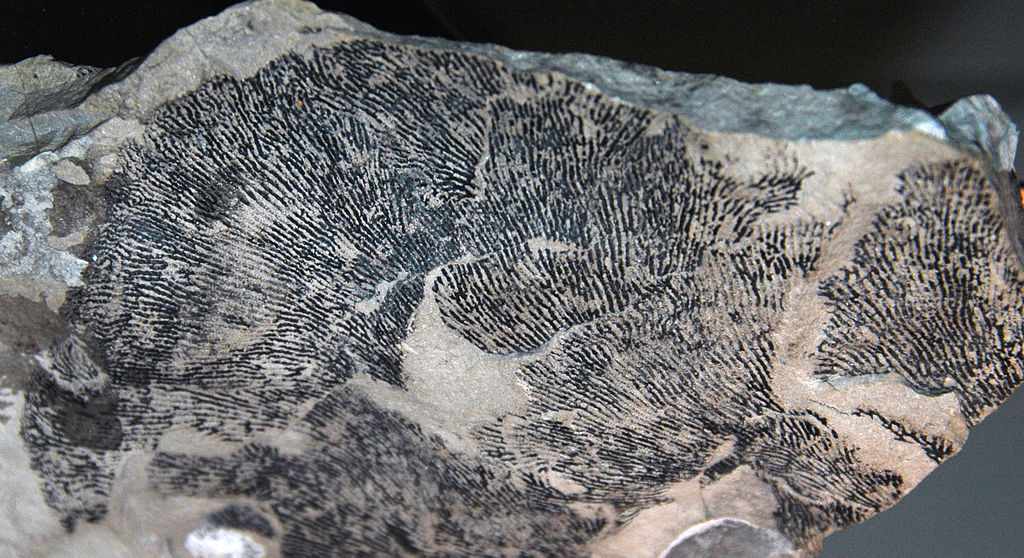 File Dictyonema Crassibasale Fossil Graptolite Lockport