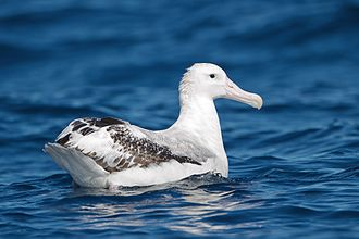 Wandering albatross - Image: Diomedea exulans SE Tasmania