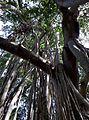 Dodda Aladha Mara 3.jpg